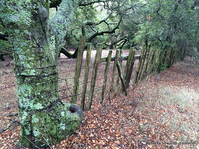 Old ranch fence on the Catamount trail. Barbed wire is digging into the old oak tree.