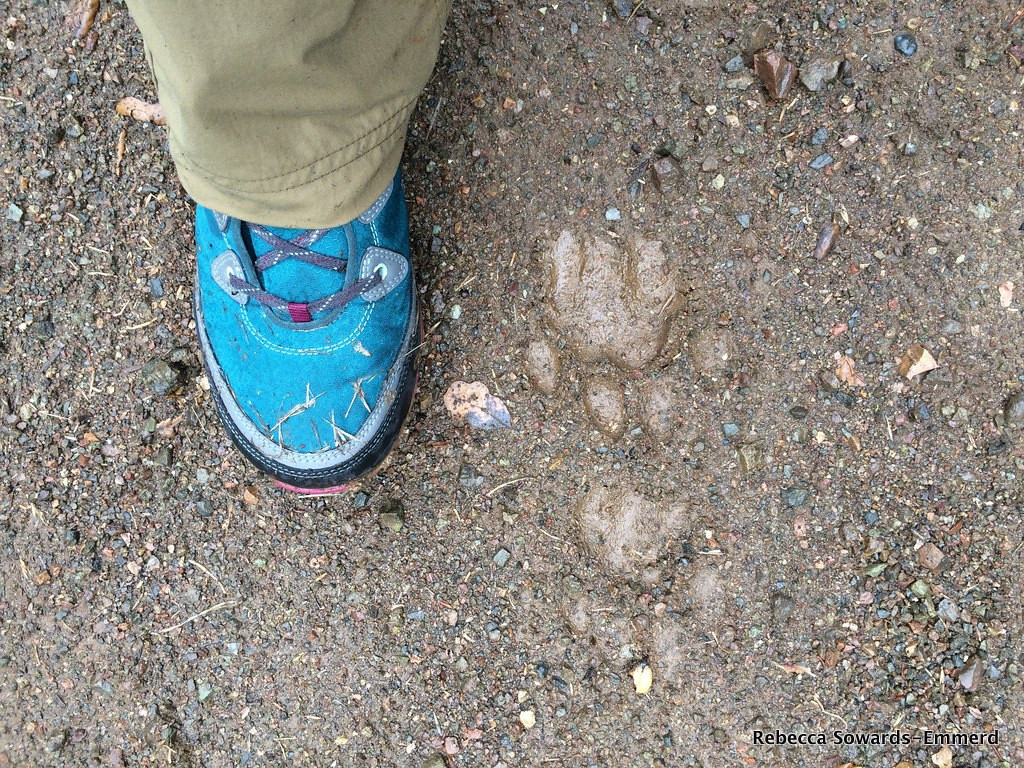 Well well, looks like i'm not alone on the trail. It seems that the Catamount Trail was named for a reason. Meow! I followed the big kitty (mountain lion) tracks along the trail for a good 1/4 mile.