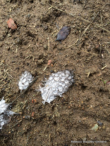 A bird clearly met its demise along the trail, but left behind some feathers. Hydrophobic down?