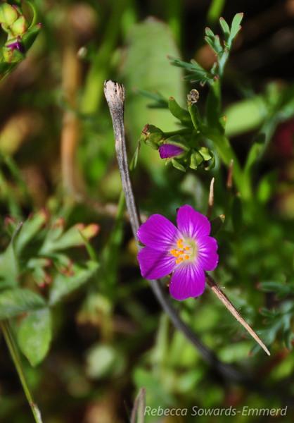 Name: Magenta Red Maid (Calandrinia ciliata)<br /> Location: Rancho Canada Del Oro<br /> Date: March 14, 2010