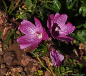 Name: Checkerbloom (Sidalcea malviflora) Location: Rancho Canada Del Oro Date: March 14, 2010