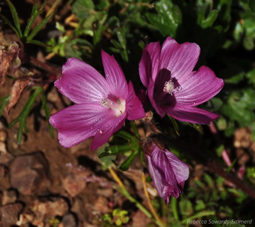 Name: Checkerbloom (Sidalcea malviflora)<br /> Location: Rancho Canada Del Oro<br /> Date: March 14, 2010
