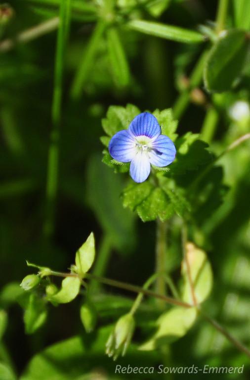 Name: Persian Speedwell (Veronica persica)<br /> Location: Rancho Canada Del Oro<br /> Date: March 14, 2010
