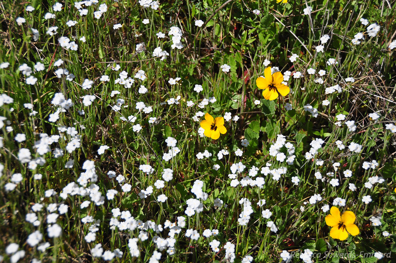 Name: Johnny Jump-Up / Wild Pansy (Viola pedunculata) (yellow flower)<br /> Name: Popcorn Flower (Plagiobothrys nothofulvus) (white flower)<br /> Location: Rancho Canada Del Oro<br /> Date: March 14, 2010