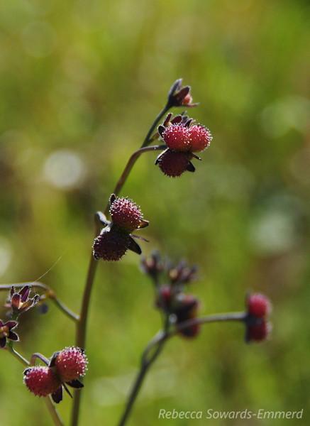 Name: Hound's Tongue (Cynoglossum grande) (berries)<br /> Location: Rancho Canada Del Oro<br /> Date: March 14, 2010