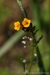 Name: Common Fiddleneck (Amsinckia menziesii var. intermedia) Location: Rancho Canada Del Oro Date: March 14, 2010