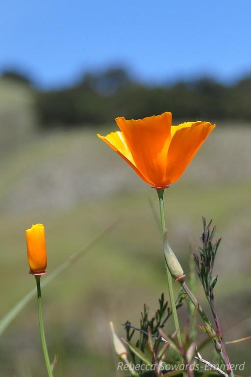 Name: California Poppy (Eschscholzia californica)<br /> Location: Rancho Canada Del Oro<br /> Date: March 14, 2010
