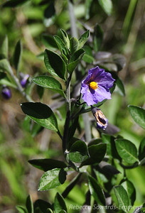 Name: Blue Witch (Nightshade) (Solanum umbelliferum) Location: Rancho Canada Del Oro Date: March 14, 2010