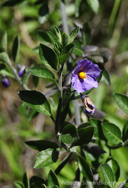 Name: Blue Witch (Nightshade) (Solanum umbelliferum)<br /> Location: Rancho Canada Del Oro<br /> Date: March 14, 2010