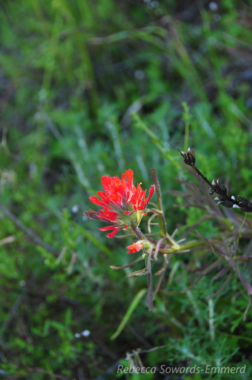 Name: Wooly Paintbrush (Castilleja foliolosa)<br /> Location: Rancho Canada Del Oro<br /> Date: March 14, 2010