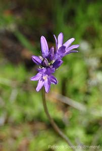 Name: Blue Dicks (Dichelostemma capitatum) Location: Rancho Canada Del Oro Date: March 14, 2010