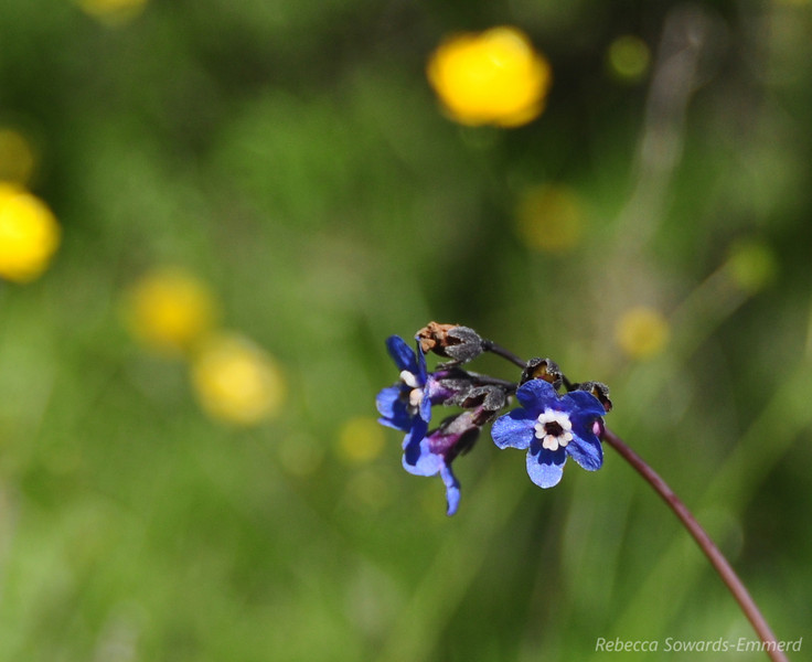 Name: Hound's Tongue (Cynoglossum grande)<br /> Location: Rancho Canada Del Oro<br /> Date: March 14, 2010