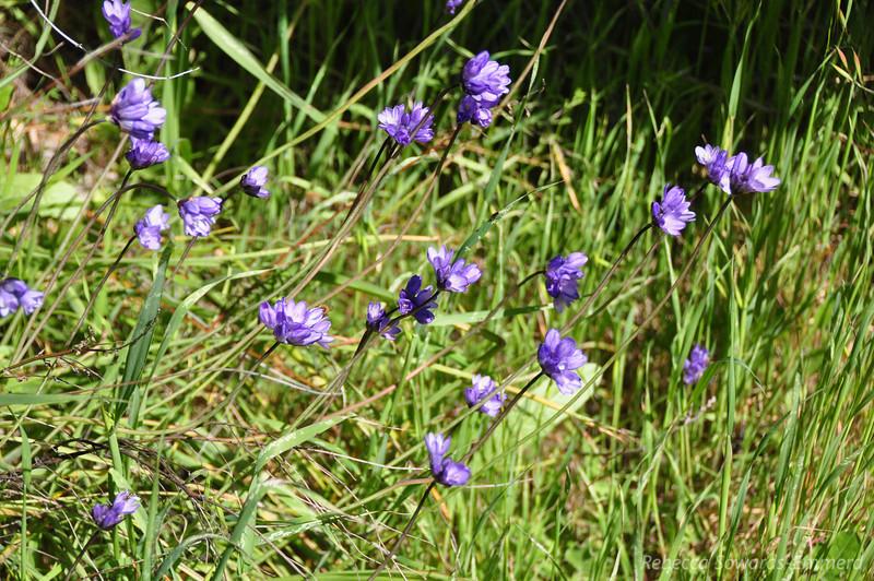 Name: Blue Dicks (Dichelostemma capitatum)<br /> Location: Rancho Canada Del Oro<br /> Date: March 14, 2010