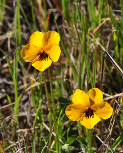 Name: Johnny Jump-Up / Wild Pansy (Viola pedunculata) Location: Rancho Canada Del Oro Date: March 14, 2010