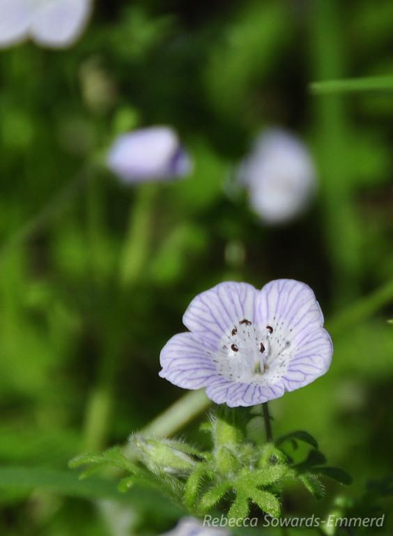 Name: Baby Blue-eyes (Nemophilia menziesii va menziezii)<br /> Location: Rancho Canada Del Oro<br /> Date: March 14, 2010