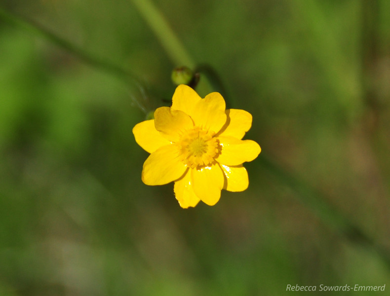 Name: California Buttercup (Ranunculus californicus)<br /> Location: Rancho Canada Del Oro<br /> Date: March 14, 2010