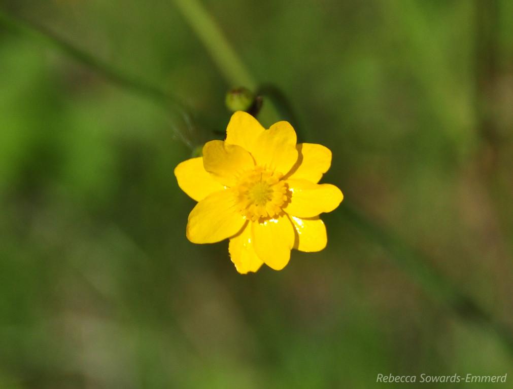 Name: California Buttercup (Ranunculus californicus)<br /> Location: Rancho Canada Del Oro<br /> Date: March 14, 2010