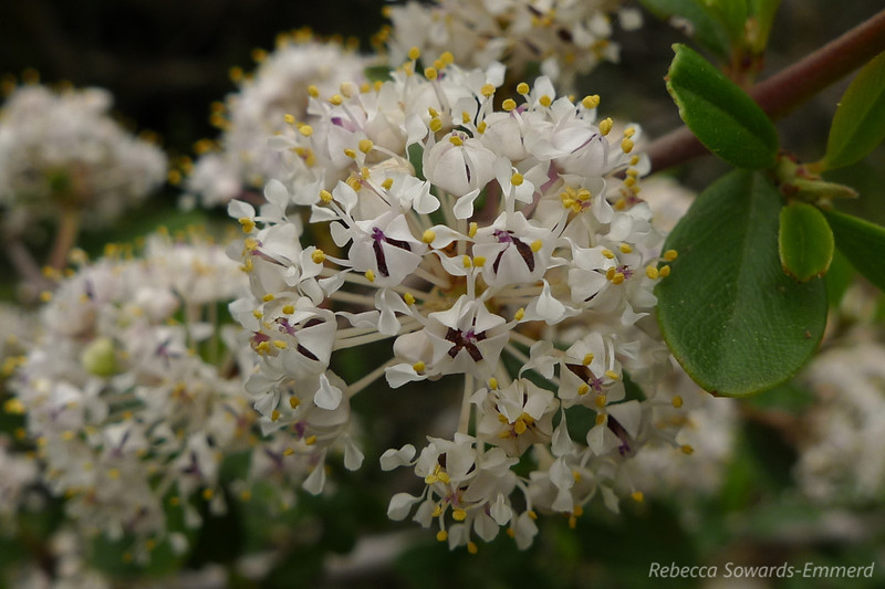 Close up of the blossoms on the bush.