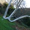 The W Tree
