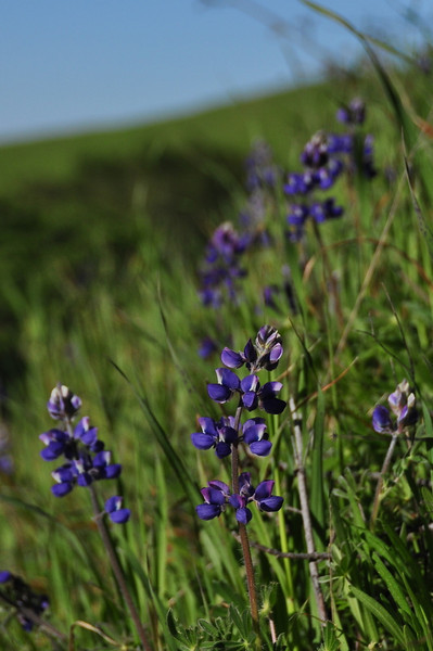 Name: Arroyo Lupine (Lupinus succulentus)<br /> Location: Russian Ridge Open Space Preserve<br /> Date: April 18, 2009
