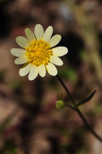 A white buttercup