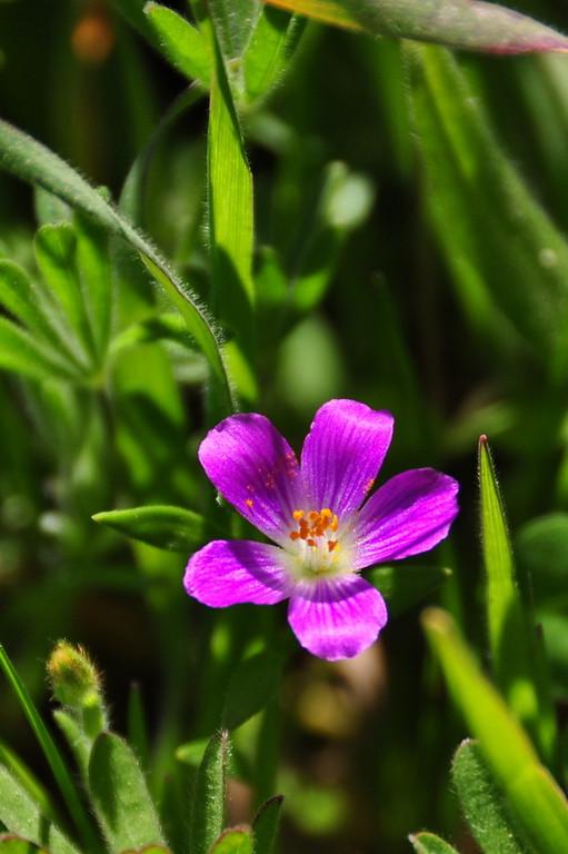 Name: Red Maid (Calandrinia ciliata)<br /> Location: Russian Ridge Open Space Preserve<br /> Date: April 18, 2009
