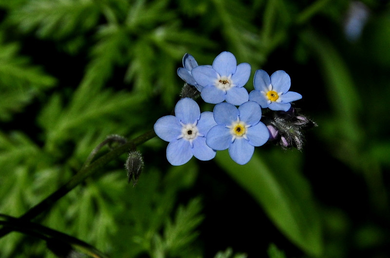 Name: Forget-me-not (Myosotis latifolia)<br /> Location: Russian Ridge Open Space Preserve<br /> Date: April 18, 2009