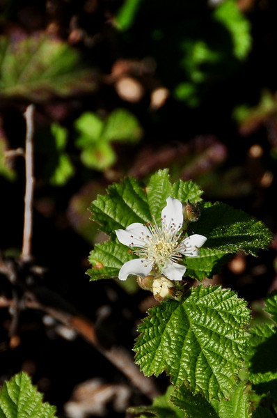 Name: Native California Blackberry (Rubus ursinus)<br /> Location: Russian Ridge Open Space Preserve<br /> Date: April 18, 2009