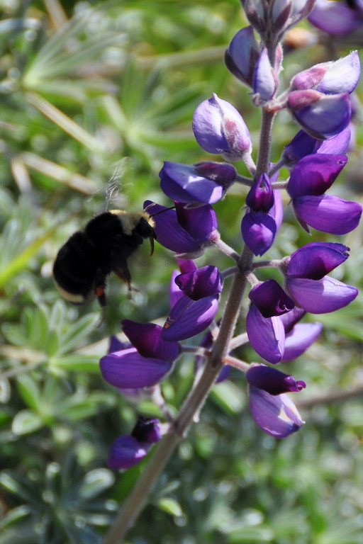 I watched this bee buzz around the lupine for a while.