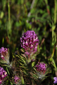 Name: Purple Owl's Clover (Castilleja exserta) Location: Russian Ridge Open Space Preserve Date: April 18, 2009