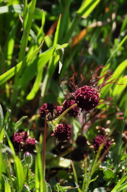 Name: Purple Sanicle (Sanicula bipinnatifida)<br /> Location: Russian Ridge Open Space Preserve<br /> Date: April 18, 2009