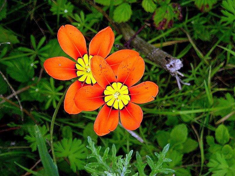 Harlequin Flower - invasive, non native, but pretty!