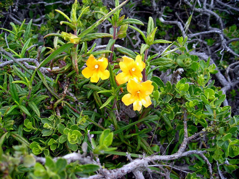 Bush Monkeyflower