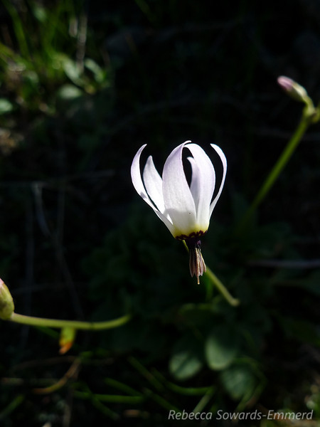 A white shooting star on the Rocky Ridge trail.