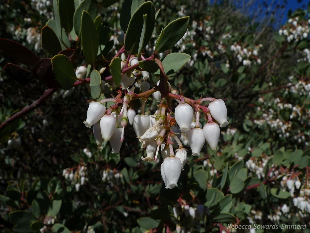 Blooming manzanita on the Fortini Trail