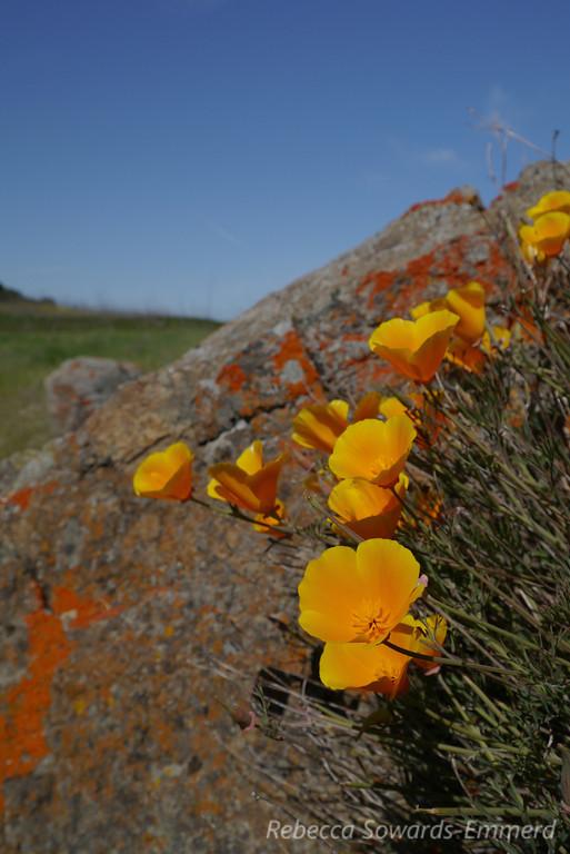 poppy, orange, flowerz