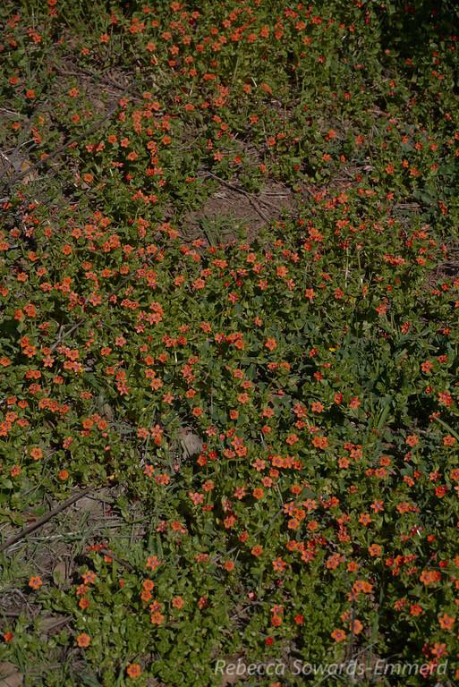 The densest patch of pimpernel I've seen.