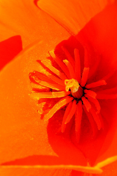 Name: California Poppy (Eschscholzia californica)<br /> Location: Santa Theresa County Park<br /> Date: March 29, 2009