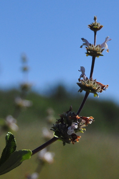 Some variety of horehound or mint?<br /> <br /> Comment if you know!<br /> Note: black sage?