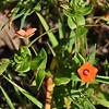 Name: Scarlet Pimpernel (Anagallis arvensis)<br /> Location: Santa Theresa County Park<br /> Date: March 29, 2009