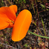 Name: California Poppy (Eschscholzia californica)<br /> Location: Santa Theresa County Park<br /> Date: March 29, 2009