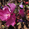 Name: Common Checkerbloom (Sidaicea malvaeflora)<br /> Location: Santa Theresa County Park<br /> Date: March 29, 2009