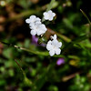 Name: Popcorn Flower (Plagiobothrys sp.)<br /> Location: Santa Theresa County Park<br /> Date: March 29, 2009