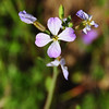 Name: Wild Radish (Raphanus sativus)<br /> Location: Santa Theresa County Park<br /> Date: March 29, 2009