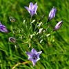 Name: Ithuriel's Spear (Triteleia laxa)<br /> Location: Santa Theresa County Park<br /> Date: March 29, 2009
