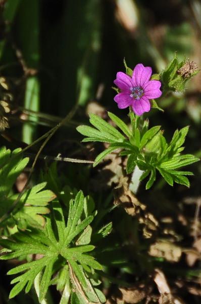 Name: Purpletip Cut-Leaf Geranium (Geranium dissectum)<br /> Location: Santa Theresa County Park<br /> Date: March 29, 2009