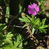 Name: Purpletip Cut-Leaf Geranium (Geranium dissectum)<br /> Location: Santa Theresa County Park<br /> Date: March 29, 2009