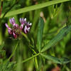 Name: Tomcat Clover (Trifolium willdenovii)<br /> Location: Santa Theresa County Park<br /> Date: March 29, 2009