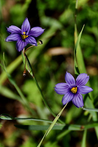 Name: Blue-eyed Grass (Sisyrinchium bellum) Location: Santa Theresa County Park Date: March 29, 2009