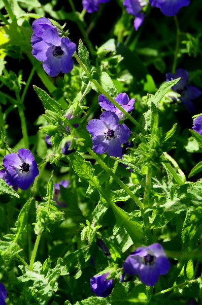 Name: Blue Fiesta Flower (Pholistoma auritum)<br /> Location: Santa Theresa County Park<br /> Date: March 29, 2009